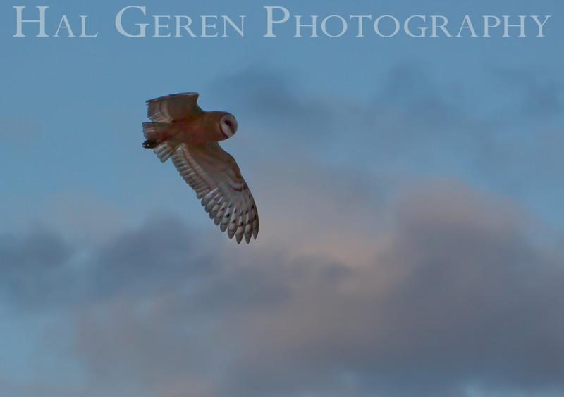201008 Refuge - Barn Owl 3