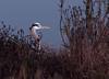 Blue Heron<br /> Don Edwards National Wildlife Refuge, Fremont, CA<br /> 1001R-BH3