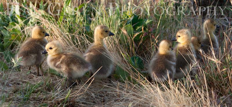 Goslings<br /> Don Edwards National Wildlife Refuge, Fremont, CA<br /> 1004R-G2