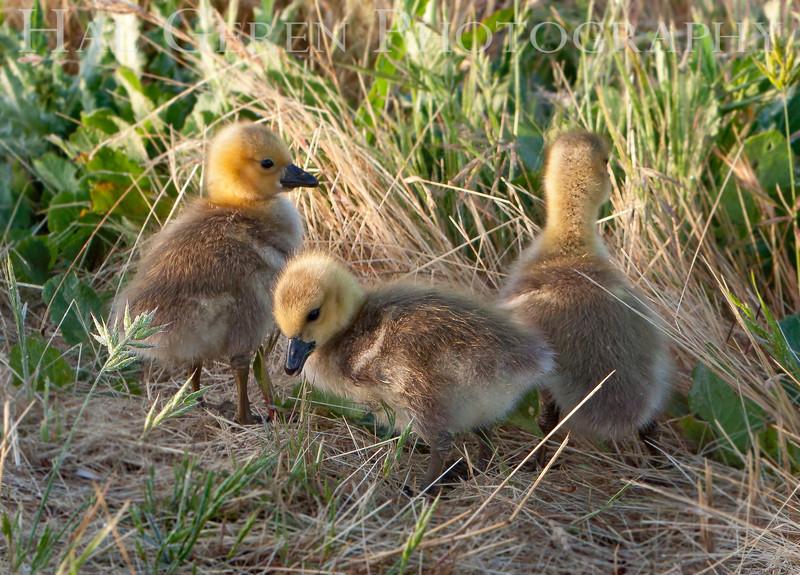 Goslings<br /> Don Edwards National Wildlife Refuge, Fremont, CA<br /> 1004R-G1