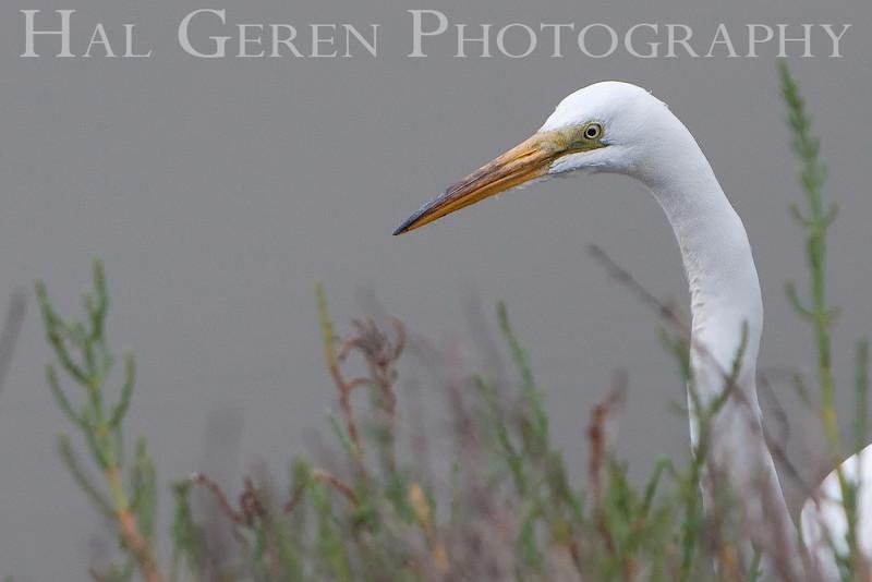 Great Egret<br /> Don Edwards National Wildlife Refuge, Newark, CA<br /> 0907R-GE1