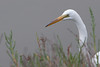 Great Egret<br /> Don Edwards National Wildlife Refuge, Newark, CA<br /> 0907R-GE1