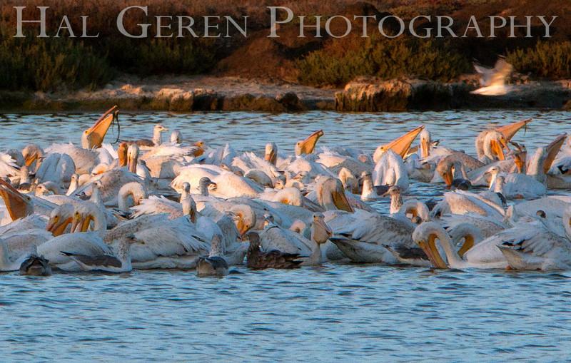 Pelican feeding frenzy<br /> Don Edwards National Wildlife Refuge.  Fremont, CA<br /> 1009R-P1
