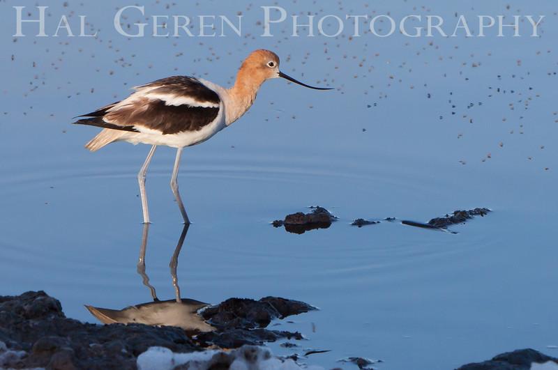 Avocet<br /> Don Edwards National Wildlife Refuge, Fremont, CA<br /> 1007R-A2