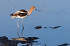 Avocet<br /> Don Edwards National Wildlife Refuge, Fremont, CA<br /> 1007R-A2
