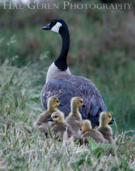 Canadian Goose and Goslings<br /> Don Edwards National Wildlife Refuge, Fremont, CA<br /> 1004R-GAP2