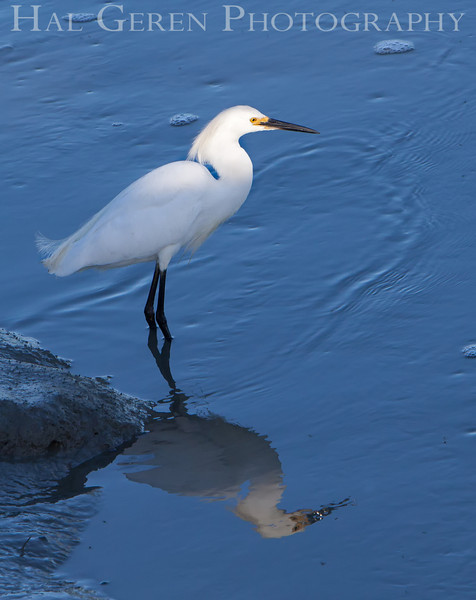 Snowy Egret<br /> Don Edwards National Wildlife Refuge, Fremont, CA<br /> 1006R-SN3