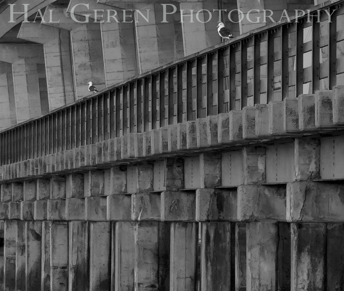 Gulls on the Dumbarton fishing pier (old bridge)<br /> Don Edwards National Wildlife Refuge.  Fremont, CA<br /> 1009R-D6ABW