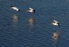 Pelican squadron<br /> Don Edwards National Wildlife Refuge, Newark, CA<br /> 0911R-PF7