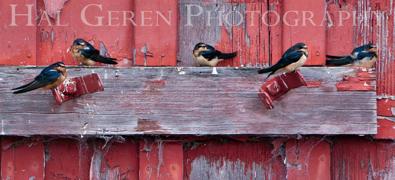 Barn Swallows<br /> Don Edwards National Wildlife Refuge.  Fremont, CA<br /> 1008R-BS1