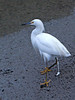 201008 Refuge - Snowy Egret - If ya Gotta Go 1