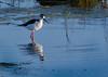 Black Necked Stilt<br /> Don Edwards National Wildlife Refuge, Fremont, CA<br /> 1004R-BNS1