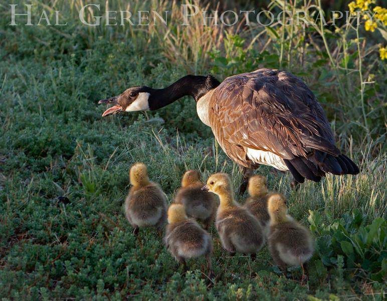 Canadian Goose and Goslings<br /> Don Edwards National Wildlife Refuge, Fremont, CA<br /> 1004R-GAP1