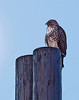 Coopers Hawk<br /> Don Edwards National Wildlife Refuge, Fremont, CA<br /> 1003R-CHOP1A