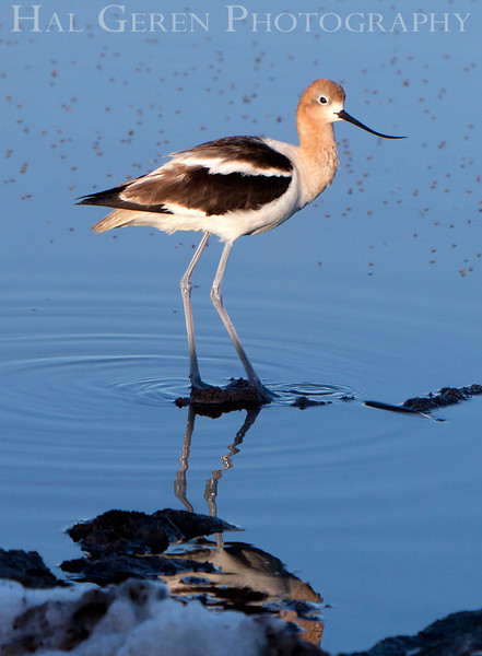 Avocet<br /> Don Edwards National Wildlife Refuge, Fremont, CA<br /> 1007R- A3