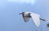Snowy Egret Flight<br /> Don Edwards National Wildlife Refuge, Newark, CA<br /> 1001R-SEF1