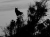 Great Horned Owl Silhouette<br /> Don Edwards National Wildlife Refuge, Fremont, CA<br /> 1001R-GHO5