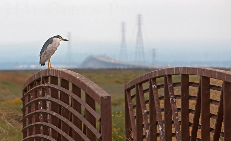 Black Crowned Night Heron<br /> Don Edwards National Wildlife Refuge.  Fremont, CA<br /> 1009R-BCNJ2