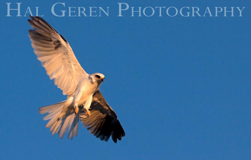 Kite ready to stoop<br /> Don Edwards National Wildlife Refuge, Fremont, CA<br /> 1007R-KF1