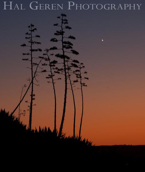 Century Plant Sunrise<br /> Don Edwards National Wildlife Refuge.  Fremont, CA<br /> 1009R-CPS1