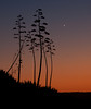 Century Plant Sunrise<br /> Don Edwards National Wildlife Refuge.  Fremont, CA<br /> 1009R-CPS1
