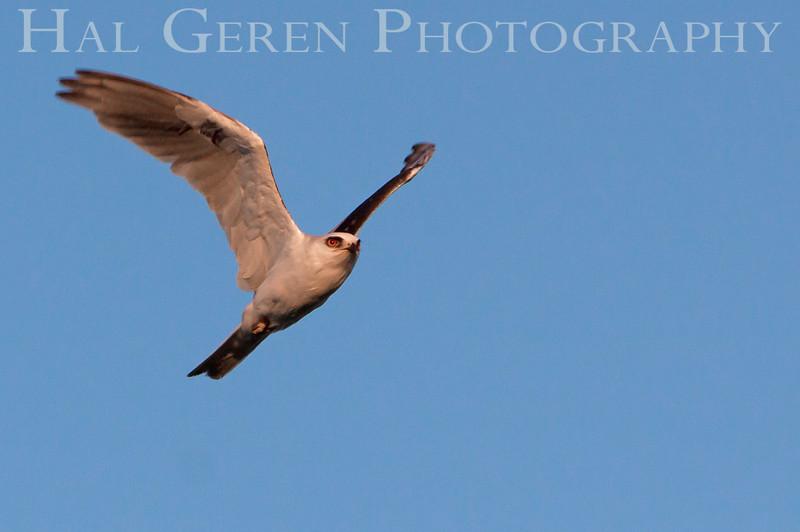 Kite Flight<br /> Don Edwards National Wildlife Refuge, Fremont, CA<br /> 1007R-KF2