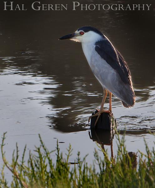 Black Crowned Night Heron<br /> Don Edwards National Wildlife Refuge, Fremont, CA<br /> 1006R-BCNH4