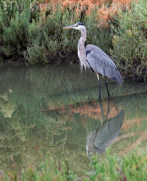 Blue Heron<br /> Don Edwards National Wildlife Refuge.  Fremont, CA<br /> 1009R-BH1