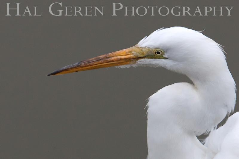 Great Egret<br /> Don Edwards National Wildlife Refuge, Newark, CA<br /> 0907R-GE2