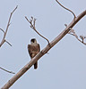 Peregrine Falcon perched on Agave<br /> Don Edwards National Wildlife Refuge.  Fremont, CA<br /> 1009R-H1A1E1