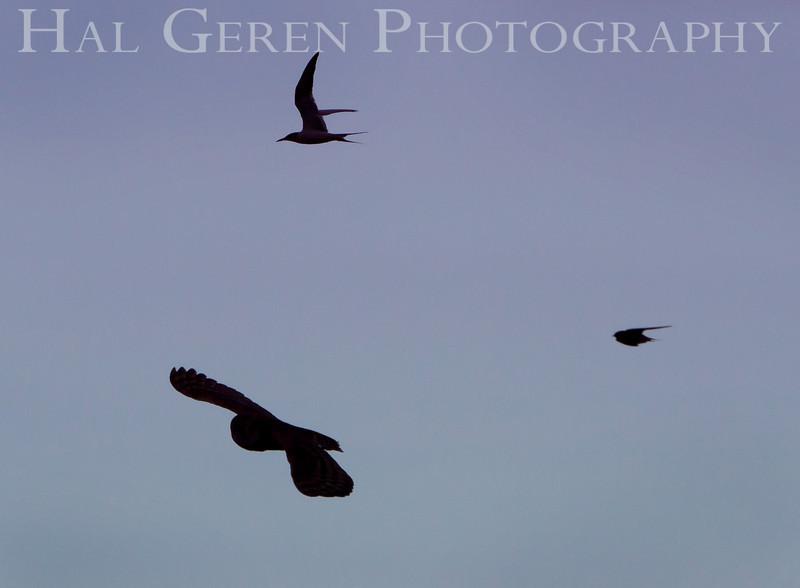 201008 Refuge - Barn Owl Tern and Swallow 2