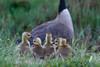 Canadian Goose and Goslings<br /> Don Edwards National Wildlife Refuge, Fremont, CA<br /> 1004R-GAP3
