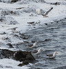 Sea Gulls in foam from salt pond<br /> Don Edwards Natl Wildlife Refuge<br /> Fremont, California<br /> 1206R-SBISPF1E1