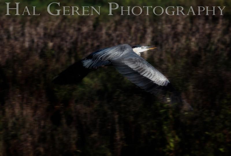 Great Blue Heron<br /> Don Edwards Natl Wildlife Refuge<br /> Fremont, California<br /> 1206R-BH7E1