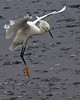 Snowy Egret Landing<br /> Don Edwards Natl Wildlife Refuge, Fremont<br /> 1107R-SE2