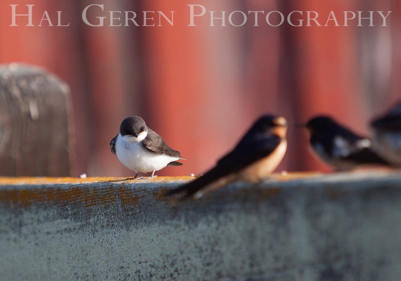 Swallow Gossip<br /> Don Edwards Natl Wildlife Refuge<br /> Fremont, California<br /> 1206R-SG3