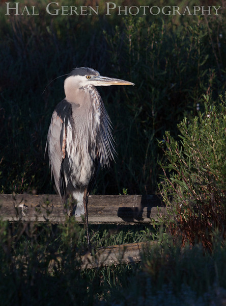 Great Blue Heron<br /> Don Edwards Natl Wildlife Refuge<br /> Fremont, California<br /> 1206R-BH3