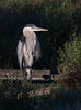 Great Blue Heron<br /> Don Edwards Natl Wildlife Refuge<br /> Fremont, California<br /> 1206R-BH3