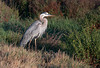 Great Blue Heron<br /> Don Edwards Natl Wildlife Refuge<br /> Fremont, California<br /> 1206R-BH1