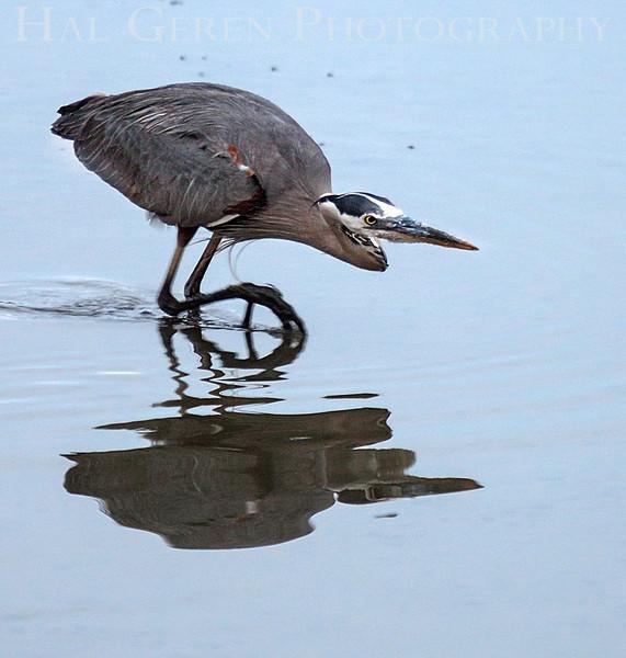 Great Blue Heron about to Strike<br /> Don Edwards Natl Wildlife Refuge<br /> Fremont, California<br /> 1206R-BNH2