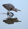 Great Blue Heron about to Strike<br /> Don Edwards Natl Wildlife Refuge<br /> Fremont, California<br /> 1206R-BNH2