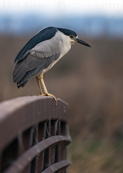 Black Crowned Night Heron<br /> Don Edwards Natl Wildlife Refuge<br /> Fremont, California<br /> 1206R-BCNH3
