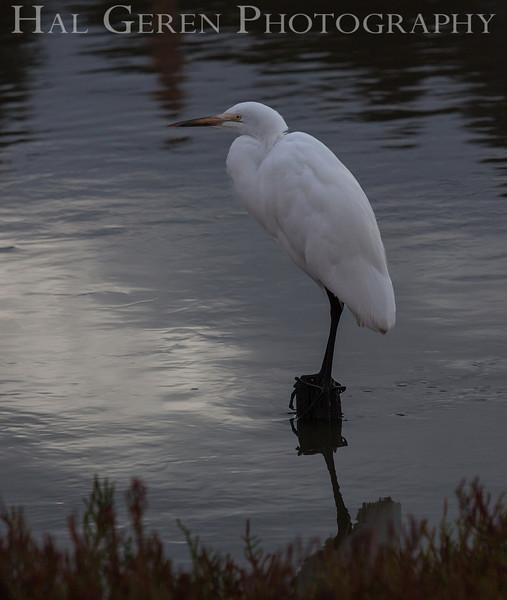 Great Egret<br /> Don Edwards National Wildlife Refuge, Fremont, California<br /> 1209R-GE2