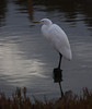 Great Egret<br /> Don Edwards National Wildlife Refuge, Fremont, California<br /> 1209R-GE2