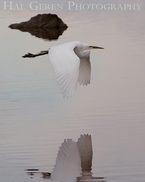 Great Egret Flight<br /> Don Edwards Natl Wildlife Refuge<br /> Fremont, California<br /> 1106LN-GEF1
