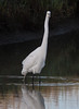 Great Egret<br /> Don Edwards Natl Wildlife Refuge<br /> Fremont, California<br /> 1206R-GE1A