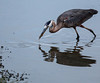 Great Blue Heron<br /> Don Edwards Natl Wildlife Refuge<br /> Fremont, California<br /> 1206R-GBH3ASO
