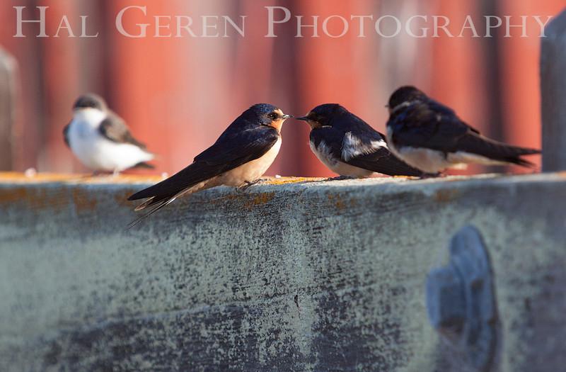 Swallow Gossip<br /> Don Edwards Natl Wildlife Refuge<br /> Fremont, California<br /> 1206R-SG1