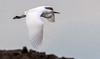 Great Egret Flight<br /> Don Edwards Natl Wildlife Refuge<br /> Fremont, California<br /> 1106LN-GEF2