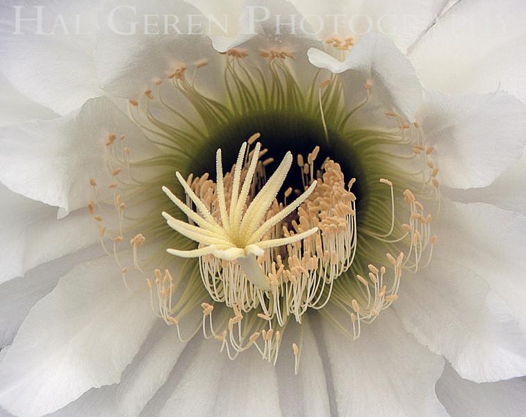 Cactus Flower<br /> Don Edwards National Wildlife Refuge, Fremont, California<br /> 1208R-CF1